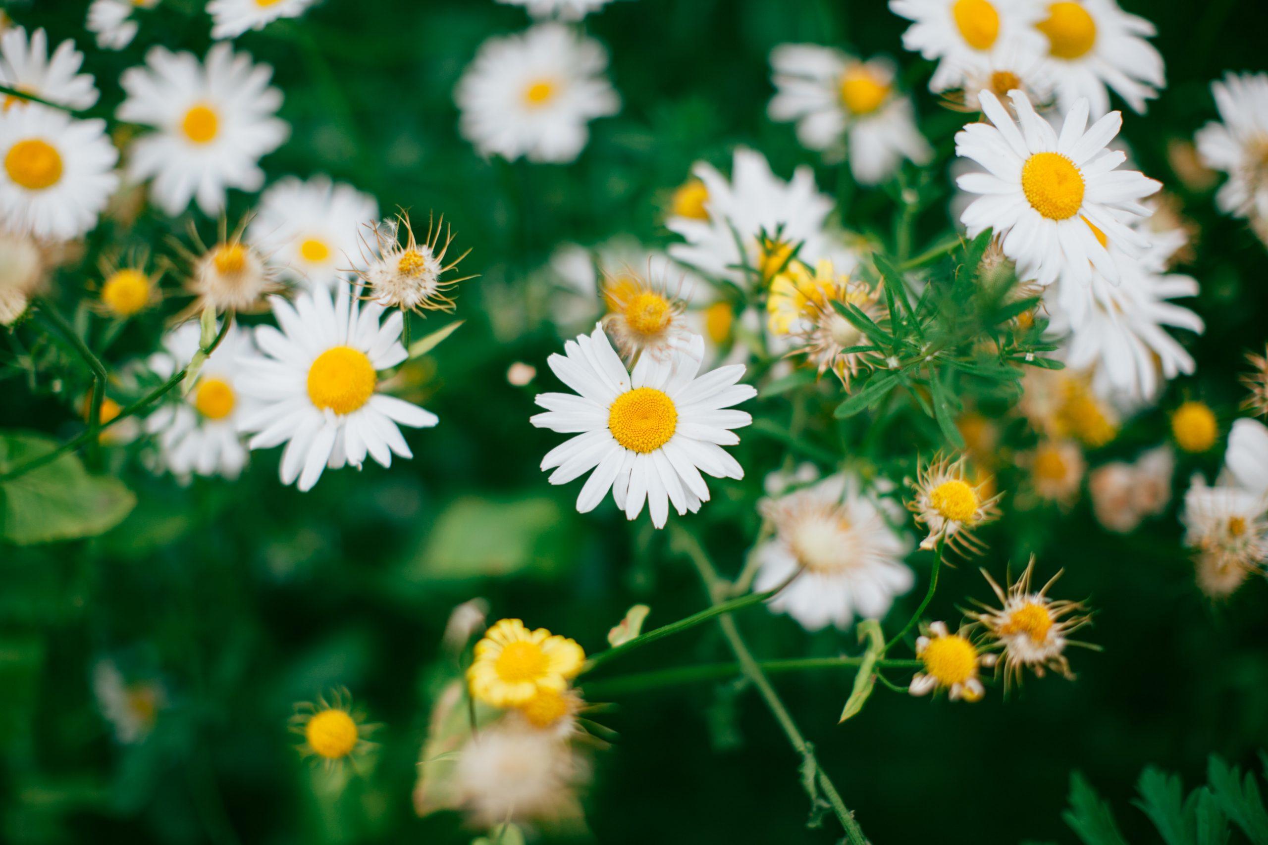 shallow shot of white daisies